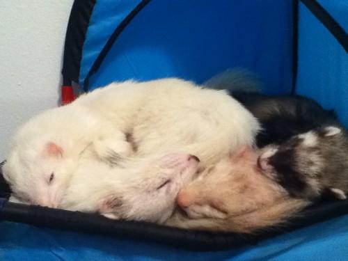 My Four Ferrets