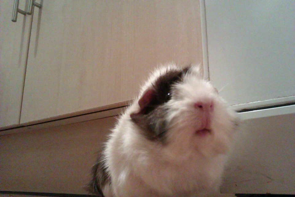 My G-Pig!