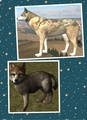 WQ wolf breeding image