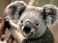 koala - kendall-schmidt wallpaper