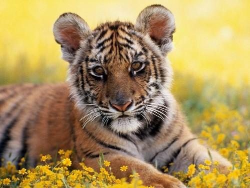 tiger ( cub )