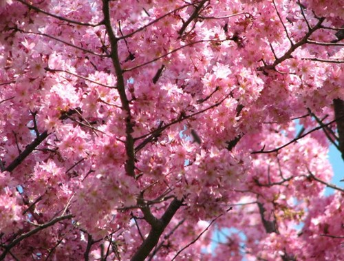 Beautiful cerise Blossom ♡