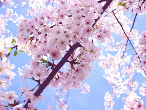 Beautiful 체리 Blossom ♡
