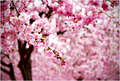 Beautiful Cherry Blossom ♡ - cherry-blossom photo