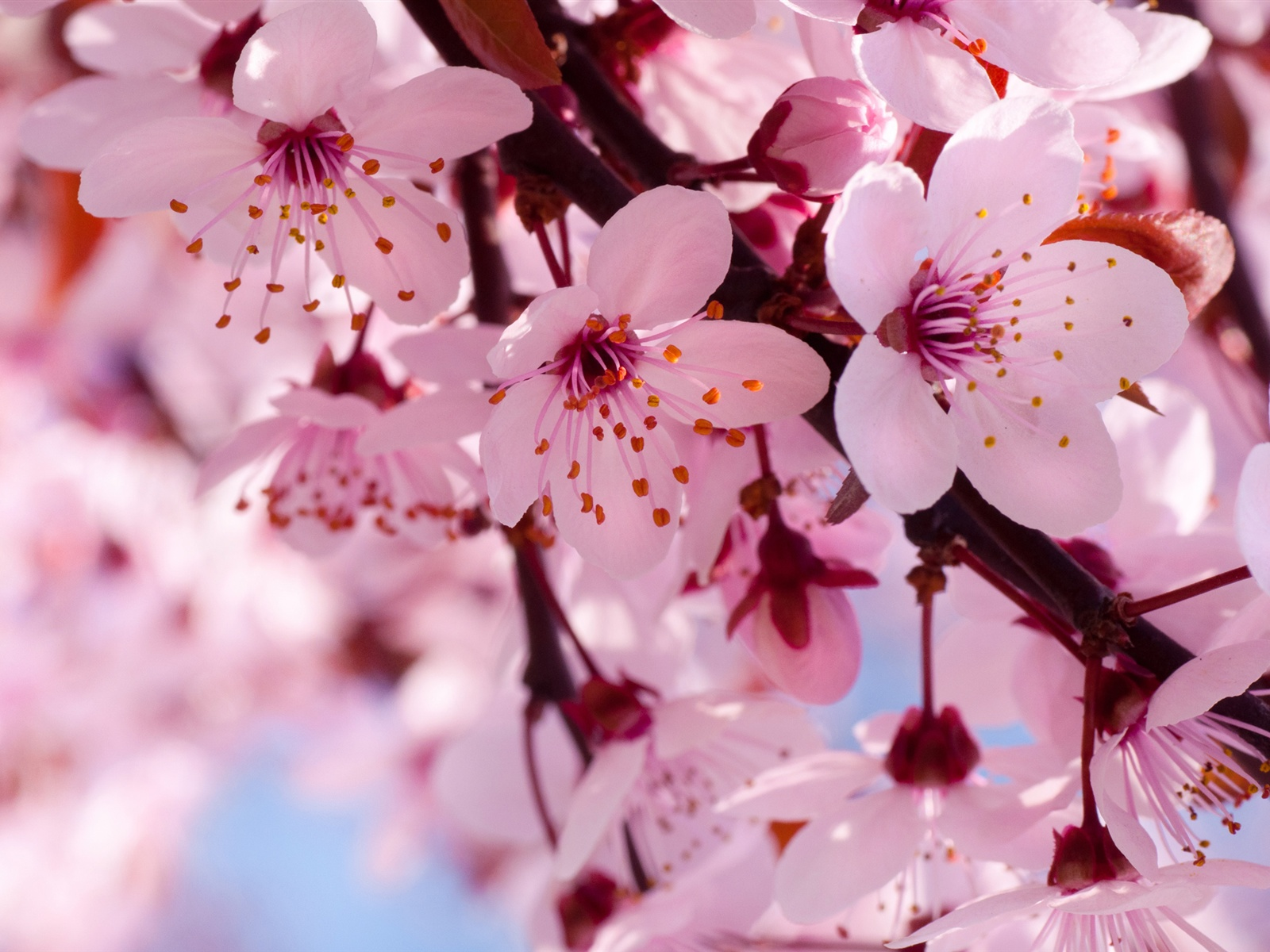 Cherry Blossom Images Beautiful HD Wallpaper And Background Photos