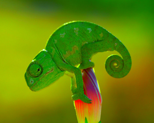 Animals wallpaper entitled Cameleon