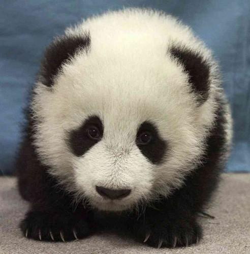 Cute panda ♡