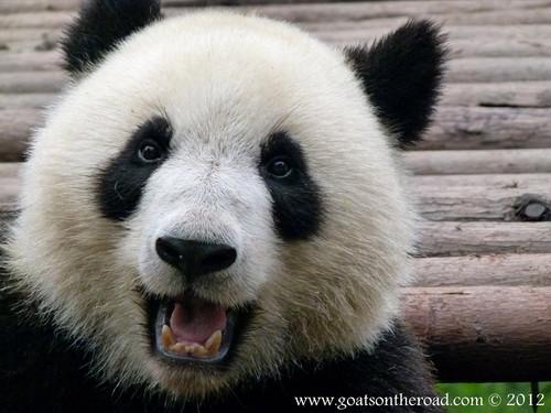 Pandas wallpaper probably containing a giant panda entitled Cute Pandas ♡