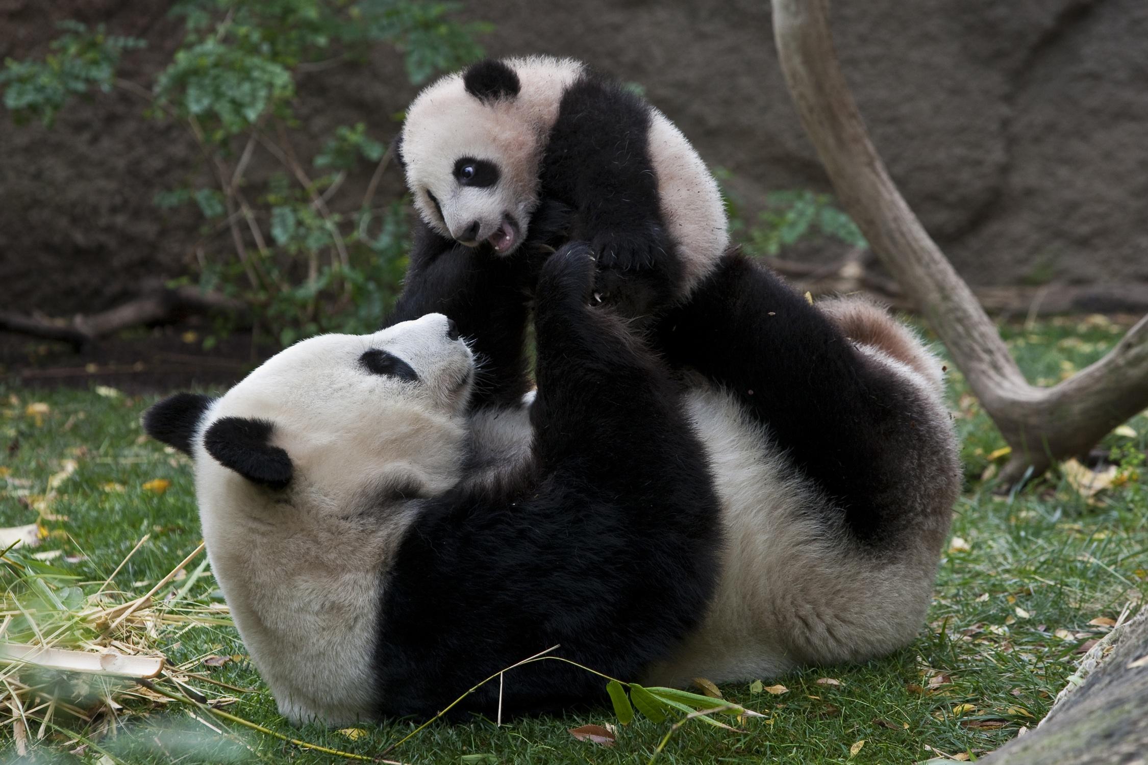 Cute Pandas Pandas Photo 35203715 Fanpop