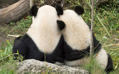 Cute Pandas ♡