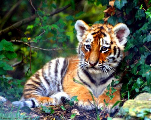 Elegant Tiger ♡