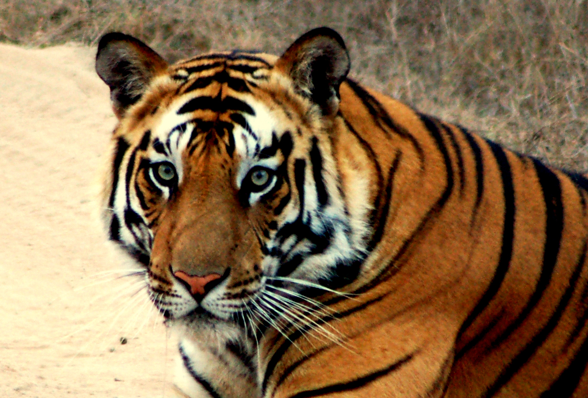 tigers images elegant tiger �� hd wallpaper and background