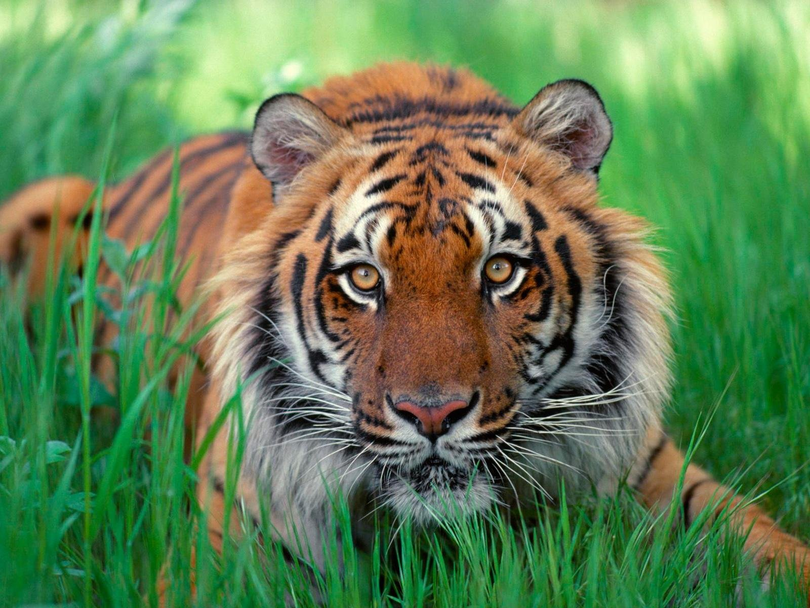 Image result for tiger images