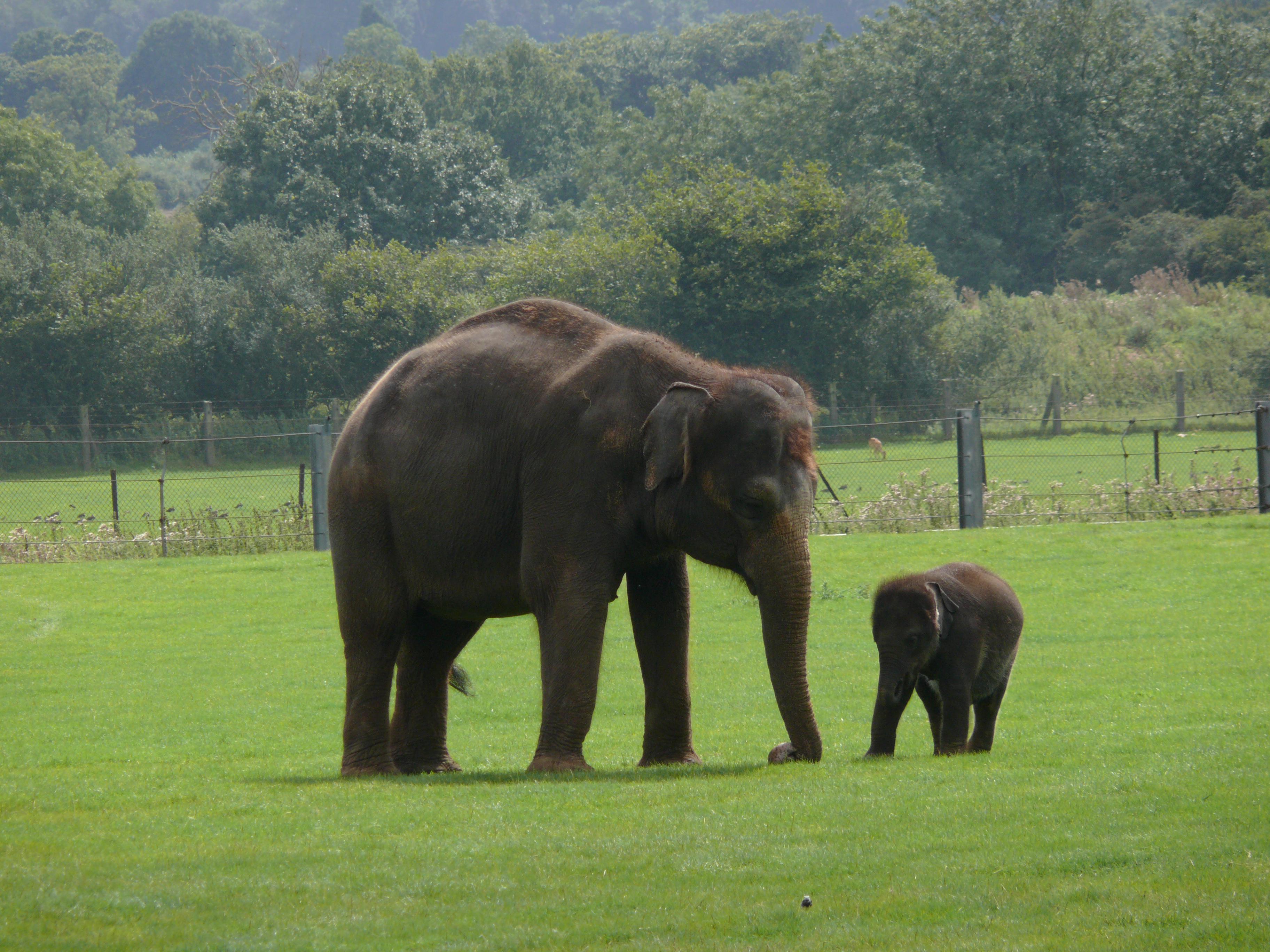 elephants images huge and massive elephant hd wallpaper