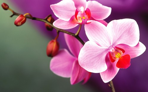 Flowers wallpaper with a butterfly orchid, a camellia, and a japanese apricot entitled Orchid