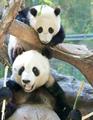 Pandas - pandas photo