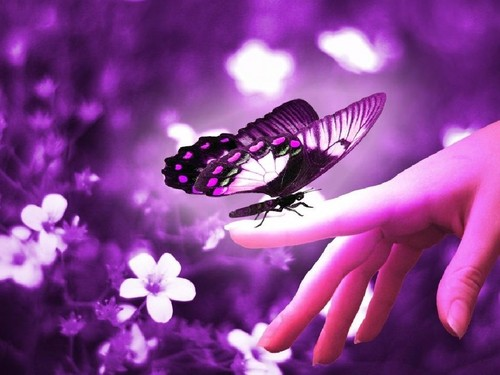 Butterflies wallpaper entitled Purple Butterflies ♡