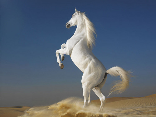 Horses wallpaper possibly with a lippizan titled White Horse ♡