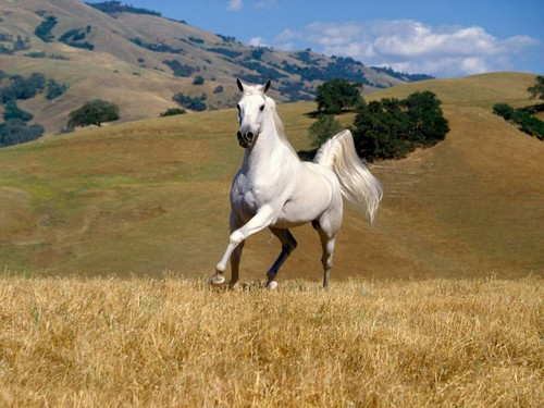 Horses wallpaper containing a lippizan entitled White Horse ♡