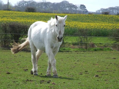 farasi karatasi la kupamba ukuta possibly with a lippizan and a horse wrangler titled White Horse ♡