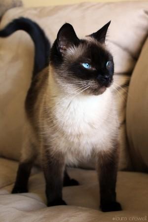 ★ Siamese Katzen ☆