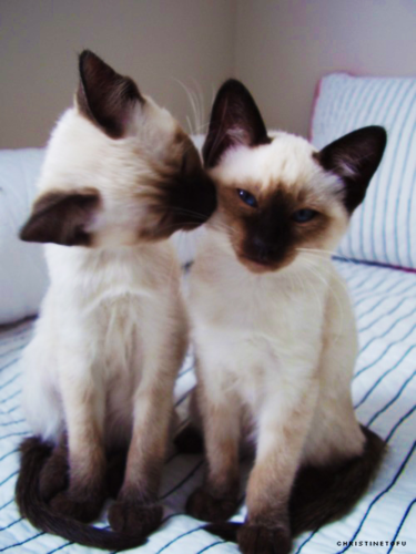 Siamese 고양이 바탕화면 containing a siamese cat called ★ Siamese 고양이 ☆