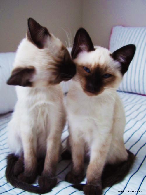 Siamese Cats images ★ Siamese Cats ☆ wallpaper and ...