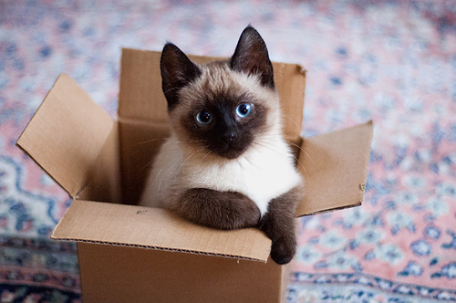 Siamese Cats پیپر وال with a packing box and a siamese cat entitled ★ Siamese Cats ☆