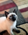 ★ Siamese kucing ☆