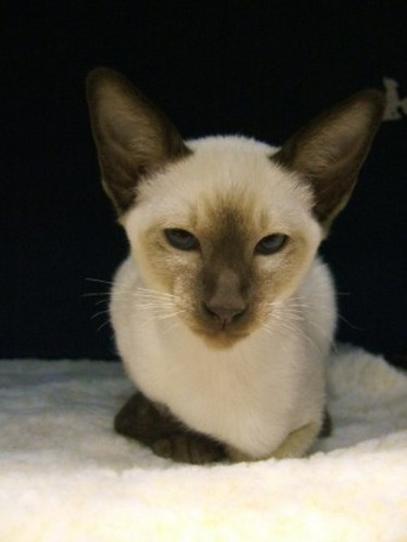 Siamese Кошки Обои containing a siamese cat titled ★ Siamese Кошки ☆