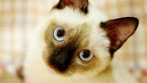 Siamese 猫 壁纸 containing a siamese cat called ★ Siamese 猫 ☆