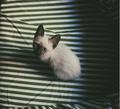 ★ Siamese Кошки ☆