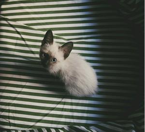 ★ Siamese Gatti ☆