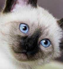 Siamese Кошки Обои containing a siamese cat called ★ Siamese Кошки ☆