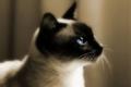 ★ Siamese 猫 ☆