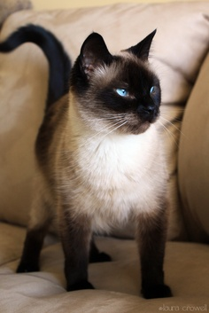 Siamese Cats پیپر وال containing a siamese cat entitled ★ Siamese Cats ☆
