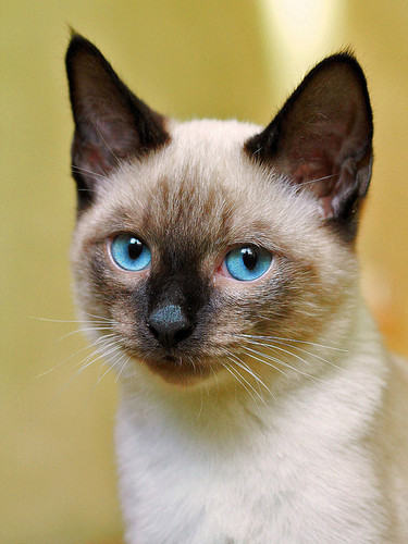 Siamese Kucing kertas dinding containing a siamese cat entitled ★ Siamese Kucing ☆