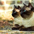 ★ Siamese Cats ☆  - siamese-cats photo