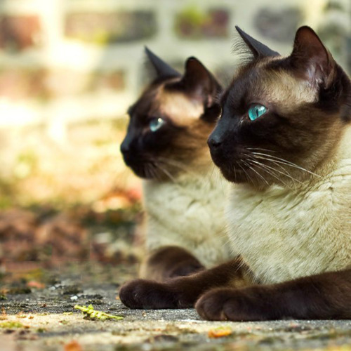 Siamese Cats پیپر وال with a siamese cat titled ★ Siamese Cats ☆
