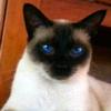 ★ Siamese ネコ ☆
