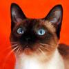★ Siamese mèo ☆