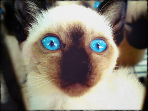 Siamese Кошки Обои containing a siamese cat called ★ Siamese ☆