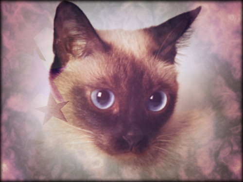 Siamese Katzen Hintergrund containing a siamese cat entitled ★ Siamese ☆