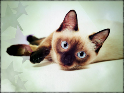 Siamese Cats wallpaper containing a siamese cat entitled ★ Siamese ☆