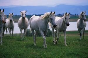 Arabian chevaux
