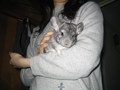 Giant chinchilla - chinchilla photo