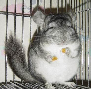 chins laughing and eating - chinchilla Photo (35349341) - Fanpop