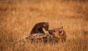 Hyena bébés
