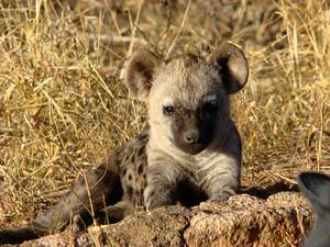 Hyena bebês