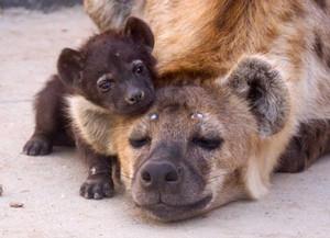 Hyena bayi